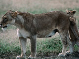 Lioness (Panthera Leo) with Cub on the Ndutu Plains  Ngorongoro Conservation Area  Tanzania
