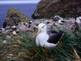 Nesting Black-Browed Albatross (Diomedea Melanophris)  Westpoint Island  Falkland Islands