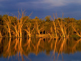Dead Gum Trees in Shallows  and Healthy Ones on Banks  of Murray River  Victoria  Australia