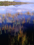 Reeds Growing in Melaleuca Lagoon Near Mt Rugby  South West National Park  Tasmania  Australia