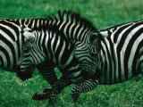 Zebras (Equus Zebra) Sparring  Ngorongoro Crater  Ngorongoro Conservation Area  Tanzania