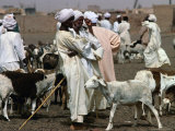 People and Goats at Animal Market  Omdurman  Khartoum  Sudan