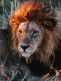 Portrait of Lion (Panthera Leo) in Sun  Xakanaxa  Moremi Wildlife Reserve  Botswana
