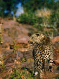 Leopard (Panthera Pardus) Walking Away  Okonjima  Namibia