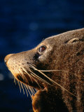 Fur Seal (Arctocephalus Forsteri) in Profile  New Zealand