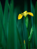 Yellow Iris or Yellow Flag (Iris Pseudochorus)  United Kingdom
