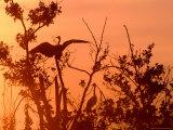 Grey Herons in Tree at Dawn  United Kingdom