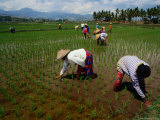 Farmers Planting Rice in a Paddy Near Tanjung  Lombok  West Nusa Tenggara  Indonesia