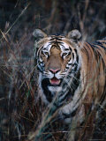 Tiger Stalking Through Long Grass  Bandhavgarh National Park  India