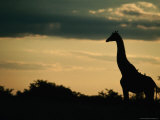 Giraffe (Giraffa Camelopardalis) at Sunset  Savuti  Chobe National Park  Botswana