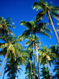 Cluster of Palm Trees  Great Courland Bay  Northwestern Coast  Grafton Beach  Trinidad & Tobago