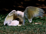 Playfight Between Little Corella Siblings  Kakadu National Park  Australia