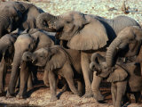 A Herd of Drinking Elephants - Etosha National Park  Namibia  Etosha National Park  Namibia