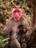 Monkey with Baby in Bamboo Grove  Cape Toi-Misaki  Japan