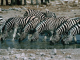 Zebras (Equus Burchellii) Drinking from Waterhole  Etosha National Park  Namibia