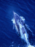 Dolphin Swimming in Whitewash on Bow of Boat  Australia