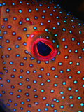 Close Up of Blue Spotted Grouper  St Anne Sandy Point  St Kitts &amp; Nevis