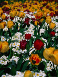 Tulips in St James's Park  London  United Kingdom  England