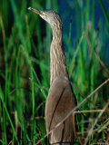 Pond Heron or Paddybird in Breeding Plumage Among Reeds  Kanha National Park  India