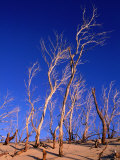 Dead Trees in Sand Dunes at Sunrise  Croajingolong National Park  Victoria  Australia