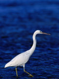 Eastern Reef Heron Stalking Fish  Great Barrier Reef  Australia