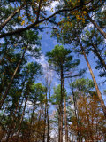 Looking Skywards Through Trees  Shawnee State Forest  USA