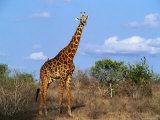 Giraffe Tsavo West National Park  Kenya