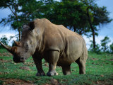 White Rhino  Cecil Kop Nature Reserve  Zimbabwe
