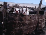 Pigs Looking Out of Pen  Ilave  Puno  Peru