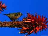 Silvereye Bird Perched on a Red Hot Poker Plant  Leigh  New Zealand