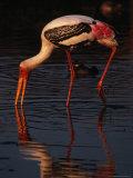 Painted Stork (Ibis Leucocephalus)  Sri Lanka