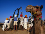 Camel and Men Working on Camel Cart  Pushkar  Rajasthan  India