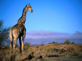 Giraffe Looking Over Its Shoulder  Augrabies Falls National Park  Northern Cape  South Africa