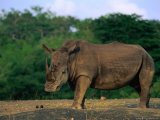 White Rhinoceros (Ceratotheruefn Semum)  Hluhluwe-Umfolozi Park  South Africa