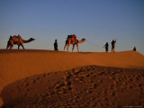 Camels and Their Herders in the Sam Desert  Jaisalmer  Rajasthan  India