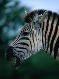 Portrait of Common Zebra (Equus Quagga)  Hluhluwe-Umfolozi Park  South Africa