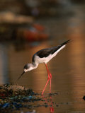 Female Black-Winged Stilt (Himantopus Himantopus)  India