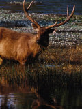 Sambar Deer (Cervus Unicolor)  Sri Lanka