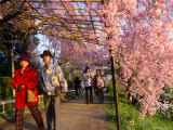 People Walking Under Roof of Pink Cherry Blossoms  Kyoto  Japan