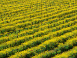 Field of Grapevines at Beckstoffer Vineyards  Napa Valley  California  USA