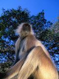 Common Langur (Presbytis Entellus) or Hanuman Langur  Sri Lanka