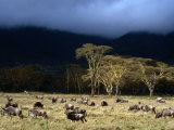 Low Cloud Hangs Over Zebra and Wildebeest at Ngorongoro Crater  Arusha  Tanzania
