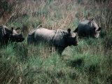 Asian One-Horned Rhinoceros (Rhinoceros Unicornis)  Royal Chitwan National Park  Nepal