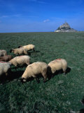 Sheep Grazing in Fields Near Abbey of Mont Saint Michel  Mont St Michel  France