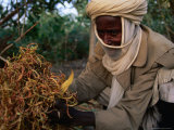 Man from Maradi Showing Australian Acacia Seeds Used for Food  Maradi  Niger