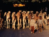 Camels Travelling from Rajasthan to West Bengal on Grand Trunk Road  Uttar Pradesh  India