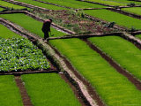 Cabbage Crop and Rice Paddies Near Kunming  Kunming  Yunnan  China