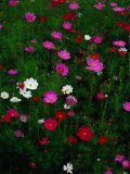 Cosmos Flowers in Bloom  Tono  Tohoku  Japan
