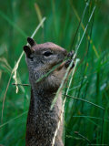 California Ground Squirrel (Spermophilus Beecheyi) in Grasslands  Yosemite National Park  CA  USA