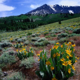 Field of Arrowleaf Balsom Root Plants with Mt Parker Behind  USA